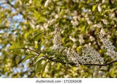 Blossoming bird cherry/hackberry tree (prunus padus) - Shutterstock ID 1713242638