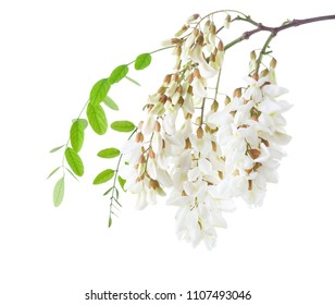 Blossoming branch of Acacia isolated on white background. Black Locust