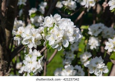 Blossoming branch of apple flowers