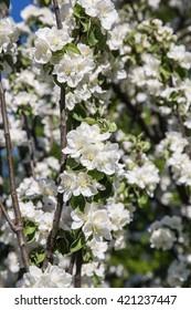 Blossoming branch of apple flowers against the blue sky
