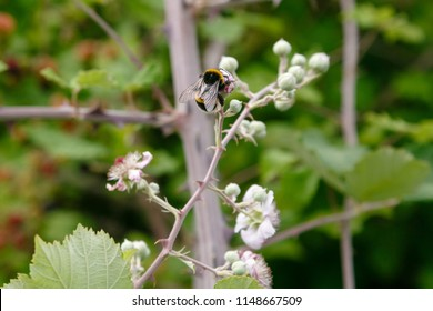 Blossoming branch of a BlackBerry. BlackBerry branch with flowers on a natural background. Berry crops in the garden. Bees pollinating flowers.