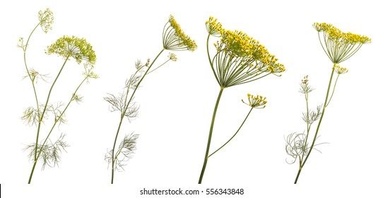 blossoming branch of fennel on a white background