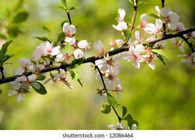 Blossoming branch of a fruiter,