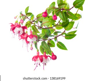blossoming branch of a fuchsia, `Alwin`