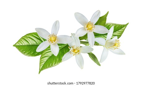 Blossoming branch of lemon tree isolated on white background