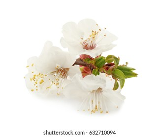 Blossoming branch on white background