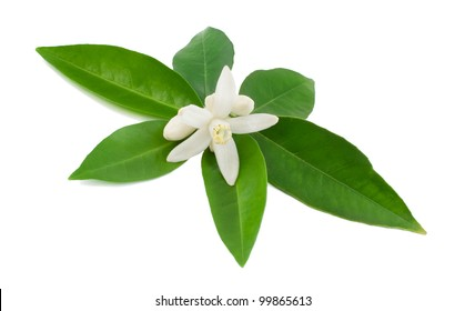 Blossoming branch of orange and leaves  Isolated on a white background