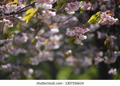 Blossoming branch of sakura