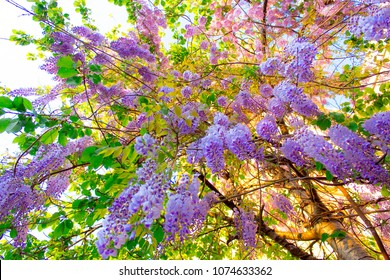 Blossoming branches of purple wisteria hang from the tree, a view from below. Fabulous spring flowering bottom view with wide angle.