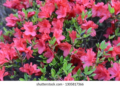 Blossoming  bright pink flowers of azalea