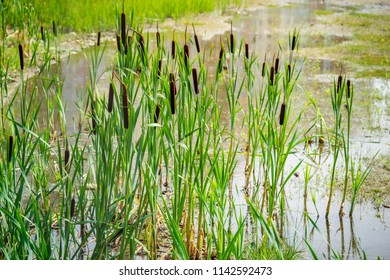 the blossoming brown marsh cane with long green stalks or wild plants of reed