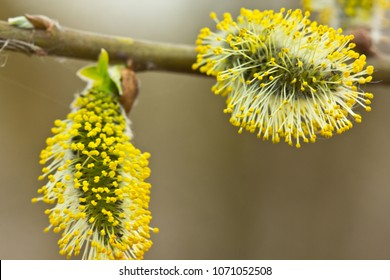 Blossoming buds of willow. Buds of the willow blossom in early spring. So willow bush is flowering. Its flowers give a lot of pollen.