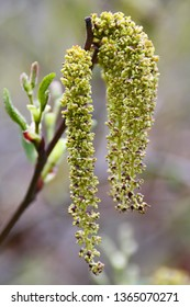 Blossoming buds of Willow with Pollen, springtime, pollen allergies.