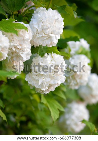 Blossoming Bush Of A Viburnum Opulus Common Name Guelder Rose Is Species