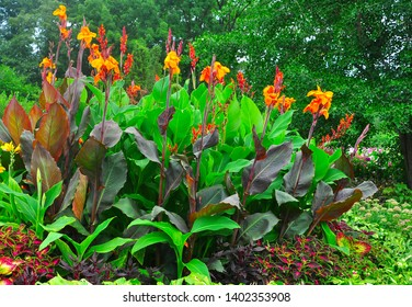 Blossoming Canna in the botanical garden.