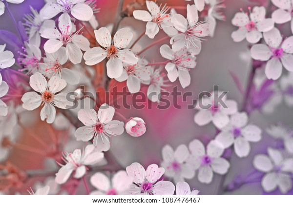 blossoming-cherry-branch-pinkpurple-colo