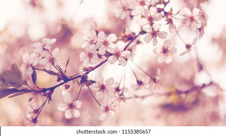 Blossoming cherry, flowering cherry. Close up. Soft focus, toning.