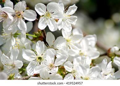 Blossoming cherry. Flowering white tree