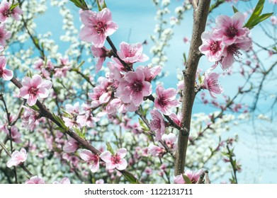 Blossoming of cherry flowers in spring time with green leaves, selective focus