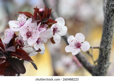 Blossoming of cherry flowers in spring time with green leaves, prunus cerasifera, macro photography