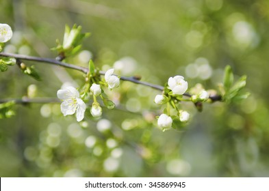 Blossoming of cherry flowers in spring time with green leaves, natural floral seasonal background
