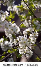 Blossoming cherry tree closeup