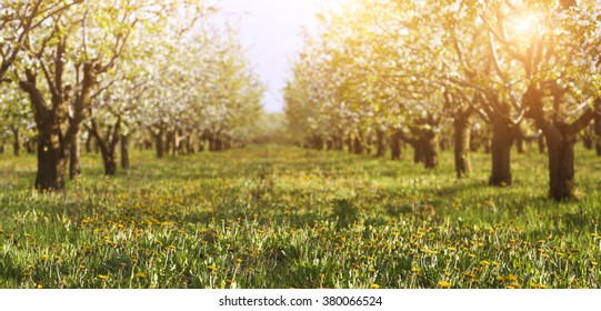 Blossoming cherry tree garden on a lawn with the sun shining through the branches