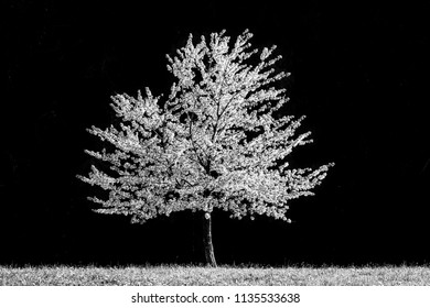 Blossoming cherry tree, monochrome, black and white. Spring at its best. Amazing natural creation. White blossom.