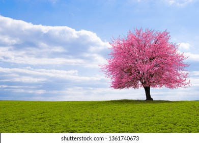 A blossoming cherry tree sakura on a horizon. Flowering tree of Japanese cherry sakura on green meadow. An old tree with a distinctive stem with pink flowers during the spring.