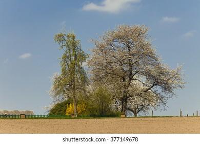 Blossoming cherry tree in spring, North Rhine-Westphalia, Germany