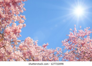Blossoming cherry trees framing the nice blue sky with the sun