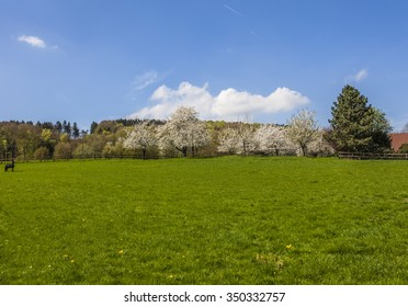 Blossoming cherry trees in Hagen, Osnabrueck country, Germany