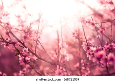 Blossoming cherry trees  in spring,Spring Background