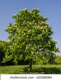 Blossoming chestnut tree on a sunny spring day