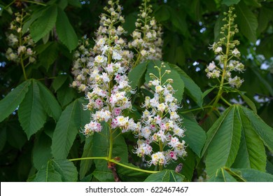 Blossoming chestnut tree in spring closeup. Nature