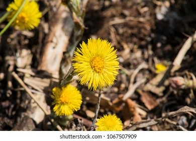 Blossoming coltsfoot. Bright yellow spring flowers of coltsfoot (Tussilago farfara)