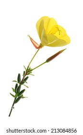 blossoming common evening primrose (Oenothera biennis) - blossom isolated against white background