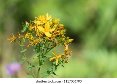 Blossoming common Saint John's wort (Hypericum perforatum)