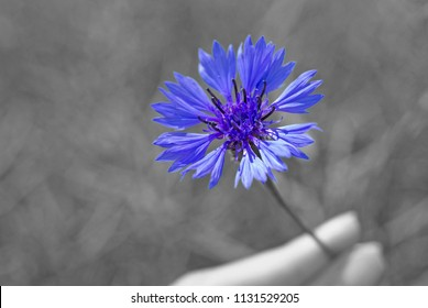 Blossoming cornflower with black & white background