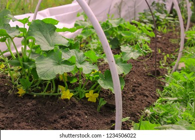 Blossoming cucumber growing in seedbed in the ground. Vegetable garden. Household plot. Dacha.