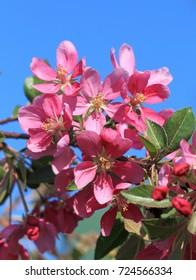 Blossoming decorative Apple tree