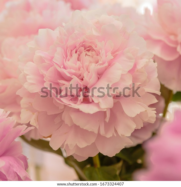 Blossoming delicate pink peony blooming flowers festive background, pastel and soft bouquet floral card, selective focus, toned