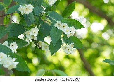 Blossoming English dogwood, Philadelphus coronarius