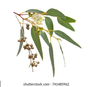 Blossoming eucalyptus with dried fruits. Isolated on white background.