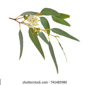 Blossoming eucalyptus. Isolated on white background.