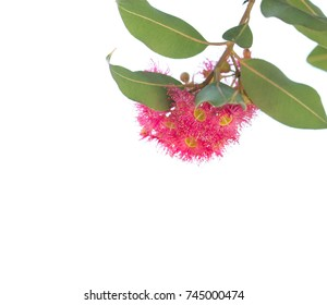Blossoming eucalyptus tree branch