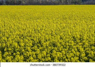 Blossoming field of Brassica Rapa Campestris during spring