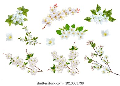 Blossoming fruit branch isolated on white background. jasmine