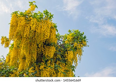 Blossoming golden rain tree against a blue sky in the Netherlands