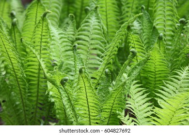 The blossoming green fern at spring garden.